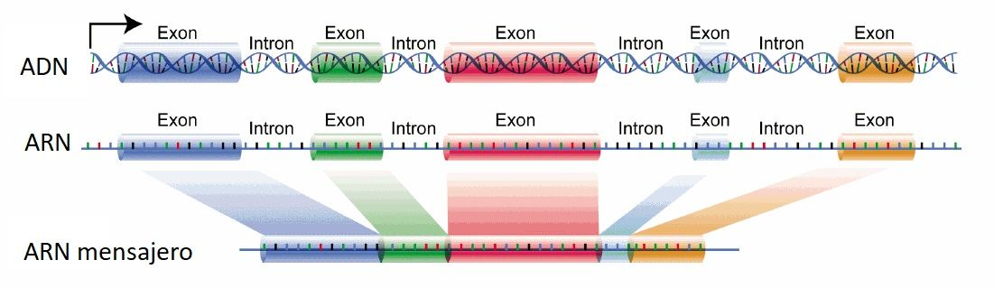 DNA_exons_introns.jpg