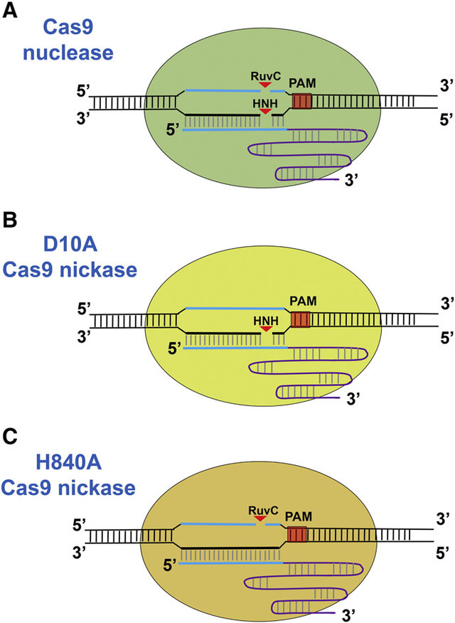 Types-Cas9-nickase.jpg