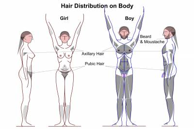 b2ap3_thumbnail_Hair_Distribution_on_Human_Male__Female_body.jpg